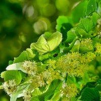 Lindenblüte: Das Naturheilmittel und seine Anwendung
